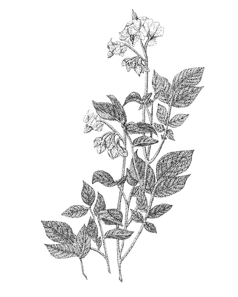 Dessin de la plante de cranberries